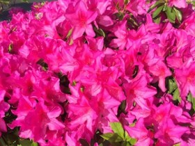Azalea beautiful shocking Pink in natural
