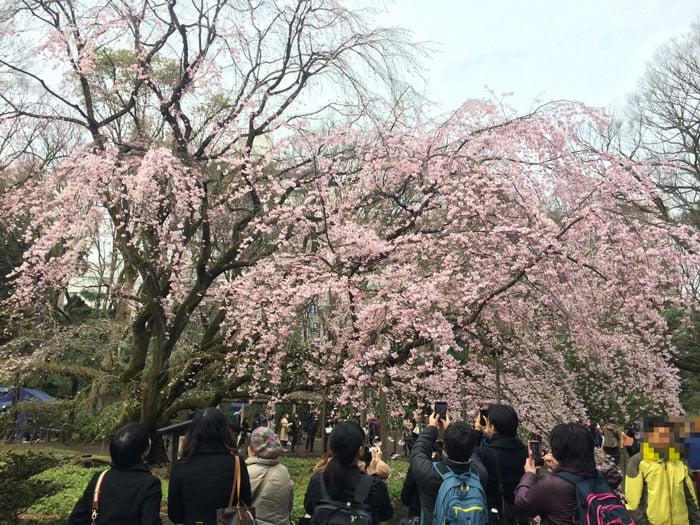 Famous 'Shidare Sakura' at Rikugien Tokyo