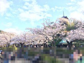 Cherry trees blooming in Sankeien