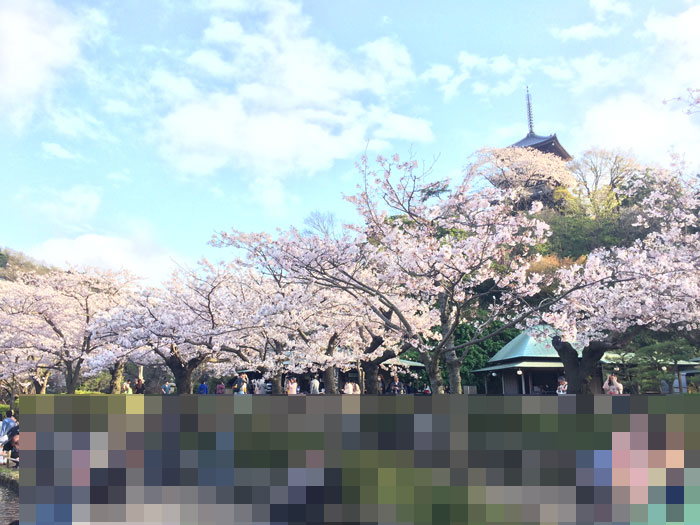 Cherry trees blooming in Sankeien