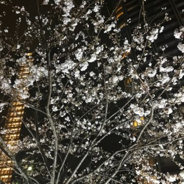 Sakura, cherry blossoms in Tokyo night